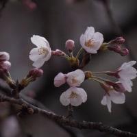 咲き出した桜(染井吉野)