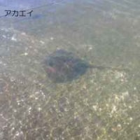 「流れ藻掬い」の成果は…(1)