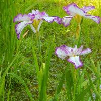 昭和記念公園の紫陽花と花菖蒲