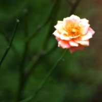 Gifu / Rose Festival ( 14 ) ( バラまつり)
