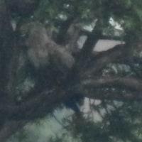 当別ビトエ地区のオジロワシ