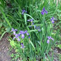 「シャクヤク」開花が進み、一部見ごろ。