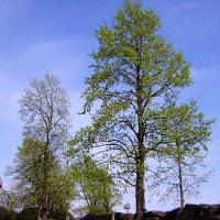宮澤賢治 ユリの木の贈り物