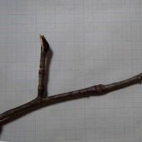 冬芽と葉痕:サワグルミ・・・