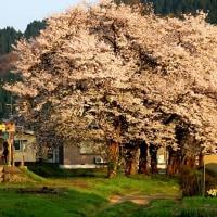 最後の桜を見届ける!