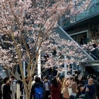 新宿駅前の彼岸桜