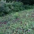 清里便り163 : 草刈りとホタルブクロ
