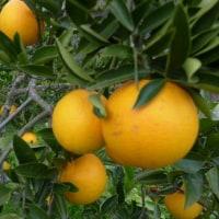 12/28(水)果樹へ寒肥