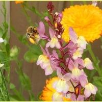 庭の花に集うハチ