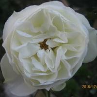 自分へのご褒美タイム  12月のバラ庭写真も追加