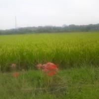 稲刈り前の水田