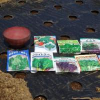 サラダ野菜種蒔き