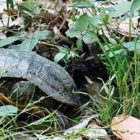 ミシシッピアカミミガメ産卵
