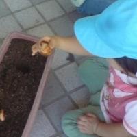 チュウリップを植えたよ!