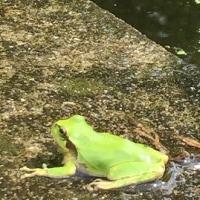 5月27日 活動報告1 ミセススローカムと舞妃蓮の蕾が現れました!