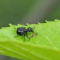 ハンノキにいた小さな黒い甲虫