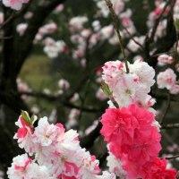 花桃🌺いろいろな花びらをつけてくれます。