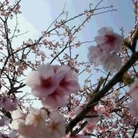 桜咲く。つながりに感謝。