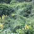 六甲山で藤に似た黄色い花をみつけました。山藤の仲間かどうか分かる方教えて下さい。