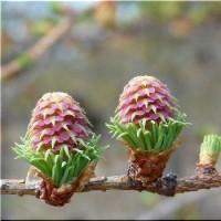 カラマツの花