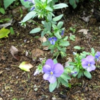 白と紫の露草