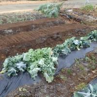 ジャガイモの畝づくり