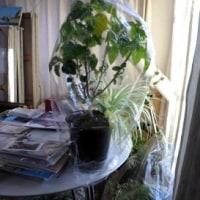 寒さ対策=夫の植物はバッチリ~!?&バルコニーとベランダの違い