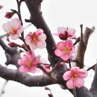 大寒の曇り空に咲く梅の花