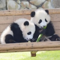 上野公園のパンダの懐妊願う!