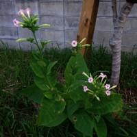 タバコの花  勝連半島の日の出