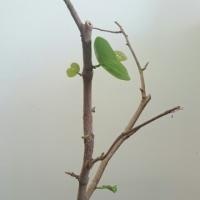 ハマベブドウ(シーグレープ) 22続き6