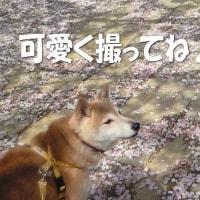 桃ちゃん、桜散歩