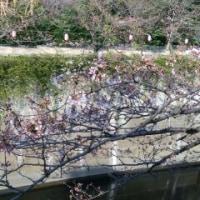 お題に参加中! 「桜は開花しましたか?」