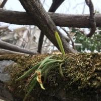 擬木の藤棚
