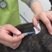 甲斐犬のワクチン接種