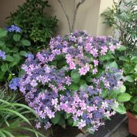 紫陽花が見頃です
