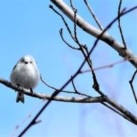 愛らしい野鳥…エナガ