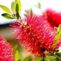 庭の花 ブラシの木(伊勢志摩)