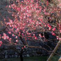 東御苑 早春の花々