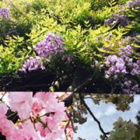 桜も藤も咲いてる(=´∀`)人(´∀`=)