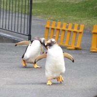 ペンギン散歩今昔・登別7