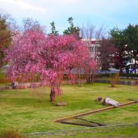 逆川緑地の桜