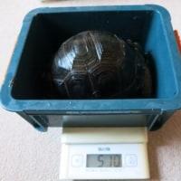 身体測定 2017年2月26日 飼育11か月