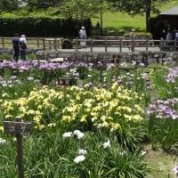 馬見丘陵公園花菖蒲