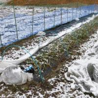 菜園の雪対策