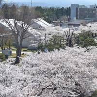十和田市 官庁街通りの桜☆ その2