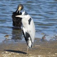 小さなシギと大きな水辺の鳥たち