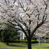 桜 2008