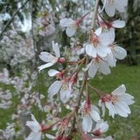 はんなり 春の京都 桜の旅