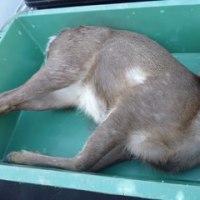 3月16日有害鳥獣捕獲「鹿 3頭」